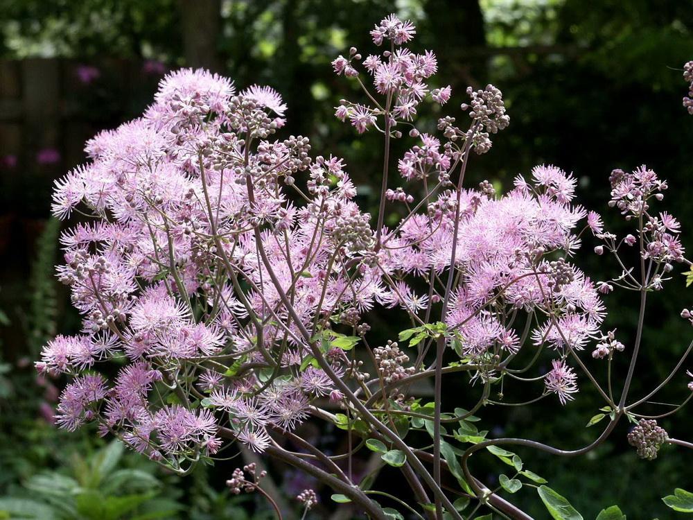 Василистник делавея — очаровательное украшение сада: выращивание и использование в дизайне
